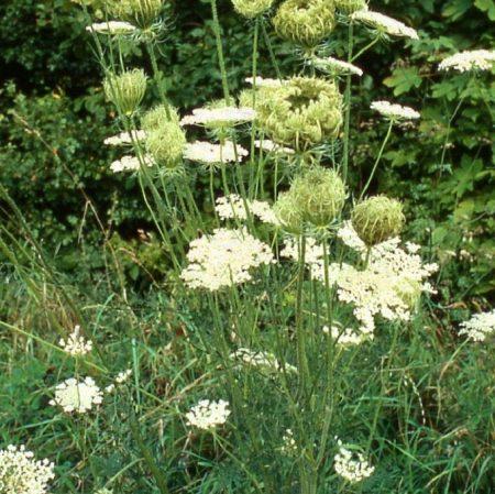Wilde peen, bloemenmengsel kopen, Herbaseeds, bloemenmengsel, inheems, bijenmengsel, vlindermengsel, uitheems, wilde planten zaden, wilde planten zaaien, bloemenzaden, goedkoop, voordelig