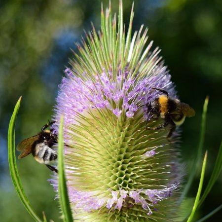 Grote kaardebol, bloemenmengsel kopen, Herbaseeds, bloemenmengsel, inheems, bijenmengsel, vlindermengsel, uitheems, wilde planten zaden, wilde planten zaaien, bloemenzaden, goedkoop, voordelig