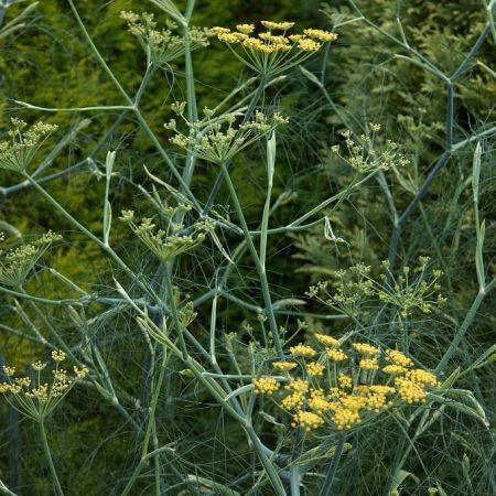 venkel, bloemenmengsel kopen, Herbaseeds, bloemenmengsel, inheems, bijenmengsel, vlindermengsel, uitheems, wilde planten zaden, wilde planten zaaien, bloemenzaden, goedkoop, voordelig